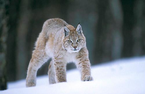 Кодовое имя OS X 10.9 - Lynx